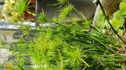 Cyperus papyrus nano