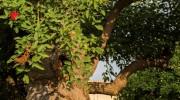 Esemplare di Erythrina crista-galli