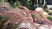 Fioritura di Pennisetum setaceum Rubrum