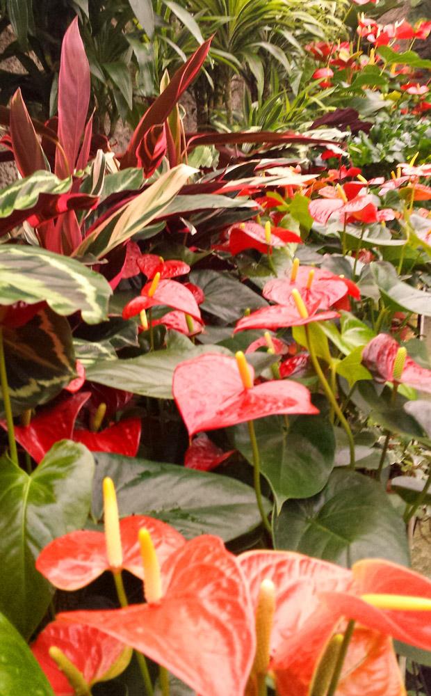 Piante da appartamento v i p garden - Piante fiorite da appartamento ...