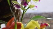 Cattleye ibride