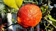 Limone rosso