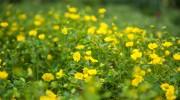 Particolare su fiori di Mecardonia
