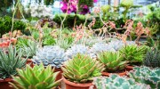 Succulente in collezione