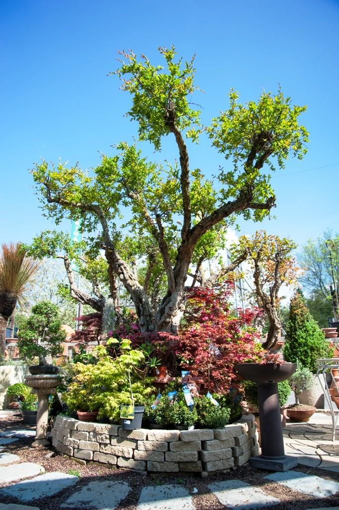 Alberi ornamentali e piante da frutto v i p garden for Vivaio alberi