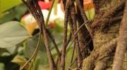 Particolare di Ficus retusa