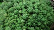 Euphorbia clavarioides