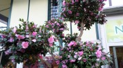 Camellia sasanqua macrobonsai