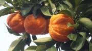 Citrus aurantium var. Caniculata