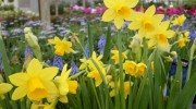 Narcissus e Muscari