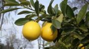 Frutti di Limequat