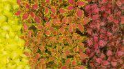 Coleus colorati