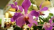 Orchidea Aranda