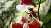 Oncidium cocoa cesar