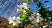 Exocorda racemosa