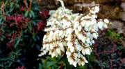Pieris in fiore