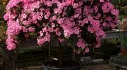 Azalea esemplare