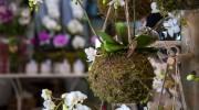 Phalaenopsis in mossball